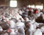 ОАЭ ввели запрет на импорт мяса и птицы из Калмыкии
