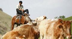 Калмыцкий скот разводят монгольские кочевники-гастарбайтеры