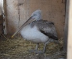 Калмыцкие школьники выходили отбившегося от стаи редкого пеликана