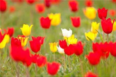 В Калмыкии зацвели тюльпаны